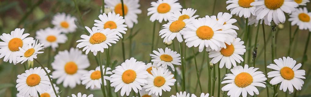 daisies-3439573_1920_zkr.jpg