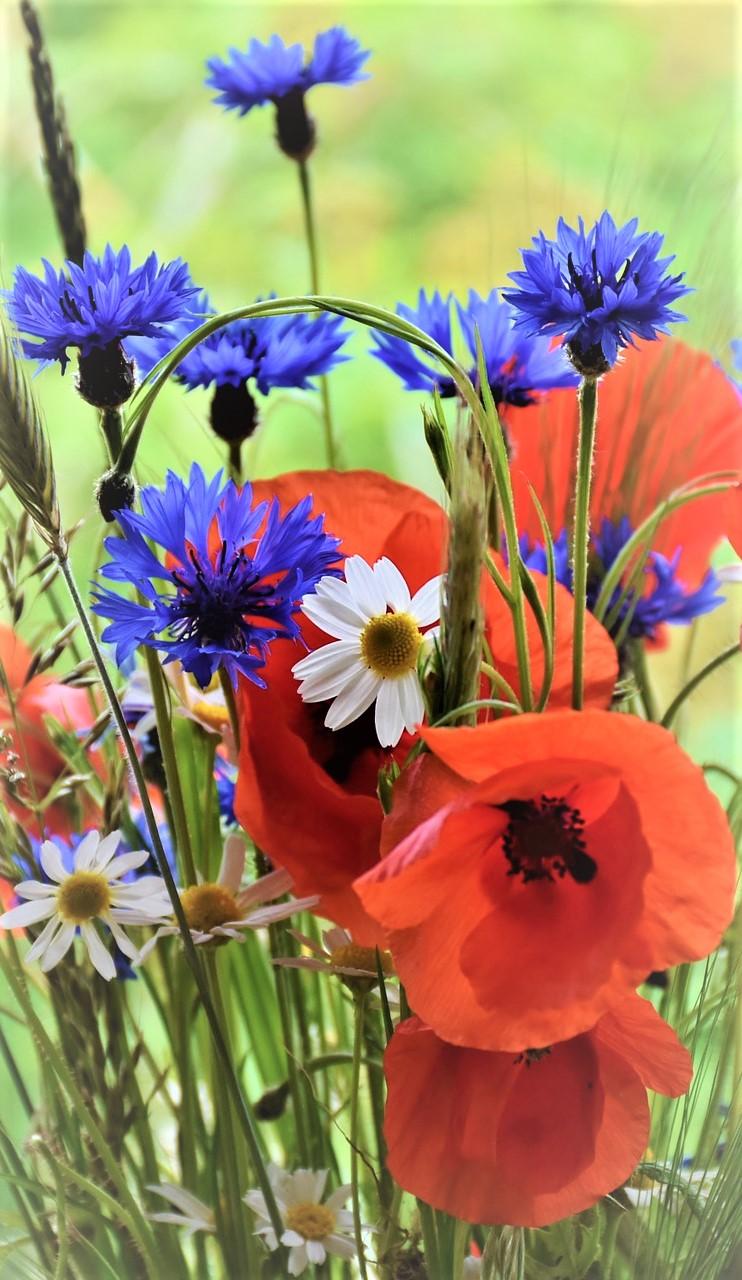 poppy-1431174_1920_2.jpg